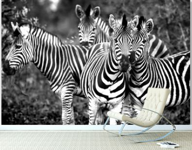 Family of a wild African zebras