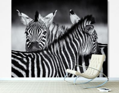 Pair of Zebra grooming each other in monochrome. Swaziland