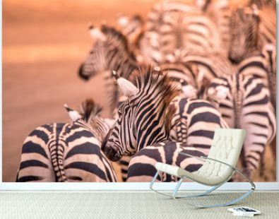 Close up portrait from a zebra in herd of zebras with pattern of black and white stripes. Wildlife scene from nature in savannah, Africa. Safari in National Park of Tanzania.