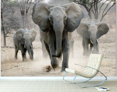 african elephant on the charge