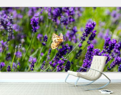 Lavender flowers, Closeup view of a butterfly on a lavender blossom in spring