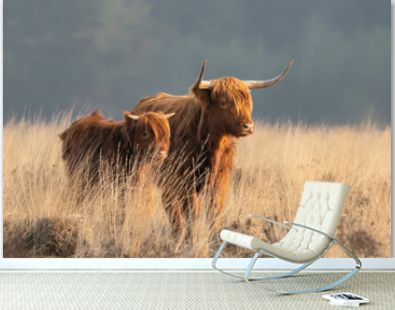 Beautiful Highland Cow cattle with calf (Bos taurus taurus) grazing in field. Veluwe in the Netherlands. Scottish highlanders in a natural landscape. A long haired type of domesticated cattle.