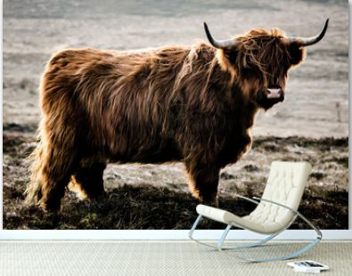 highland cow on a background