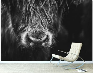 Black and white picture of Scottish Highland Cow in field looking at the camera, Ireland, England, suffolk. Hairy Scottish Yak. Brown hair, blurry background, added noise grain for artistic purpose.