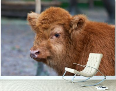 Baby highland cow with a reddish hair watch straight in the camera near in the Zoo. Close up portrait. Hairy Scottish highlander
