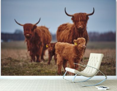 Highland beef Cow on Sunset