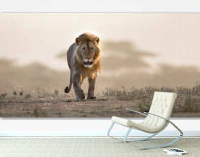 Male lion walking if african landscape