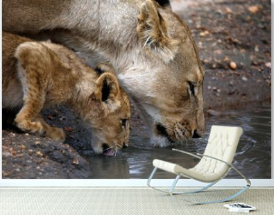 Close-up of a Lioness with her Cub, Drinking from a Pool. Balule Nature Reserve, Kruger Park, South Africa