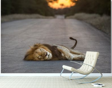 Portrait of lion lying on road