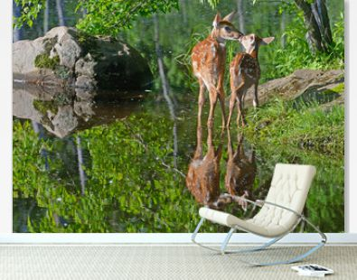 Two White Tailed Deer Fawns wading in clear water.