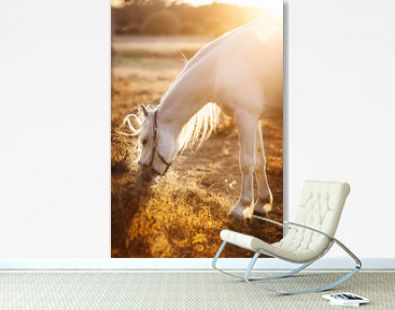 White horse eating grass, grazing in a field