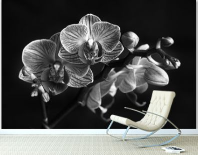 Black and white Phaleanopsis on dark background. Black and white image of orchid flower