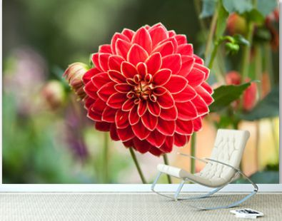 Red Dahlias growing in a garden