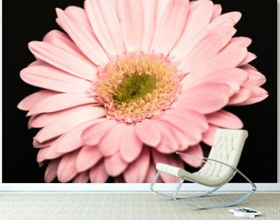 close up view of beautiful pink gerbera isolated on black