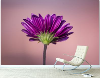 One purple daisy gerbera on a pure soft background with space for text