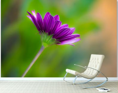 One purple daisy gerbera on a pure green background with space for text