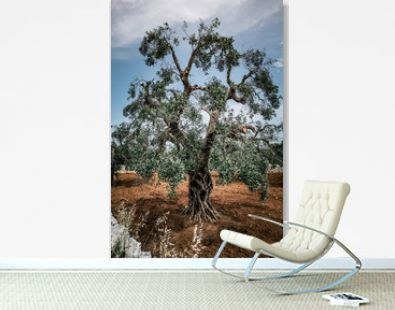 Old Olive tree in field summer in sunny Italy