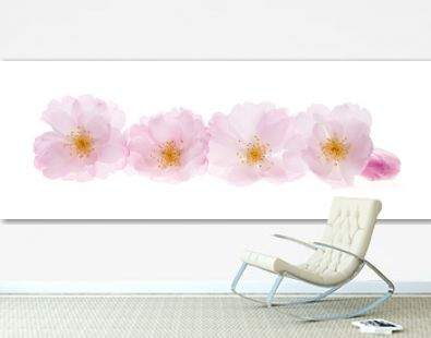 Cherry blossoms in a row isolated on white