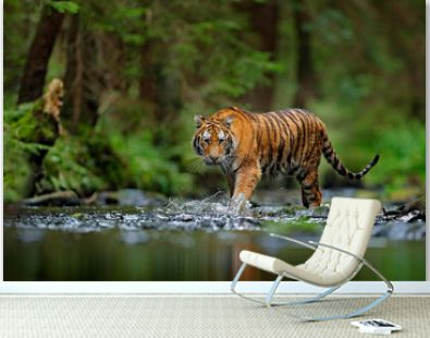 Amur tiger walking in river water. Danger animal, tajga, Russia. Animal in green forest stream. Grey stone, river droplet. Siberian tiger splash water. Tiger wildlife scene, wild cat, nature habitat.