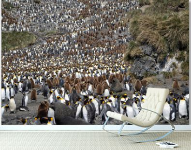Thousands of King penguins on South Georgia