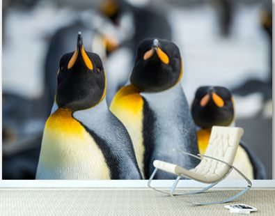 Close-up of three king penguins looking ahead