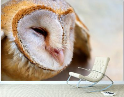 close up shot of barn owl face, owl face close up