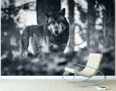 portrait of wolf looking at camera