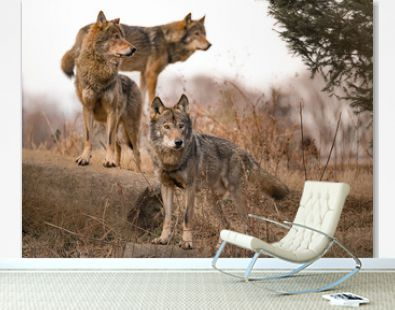 wolf pack pose nature