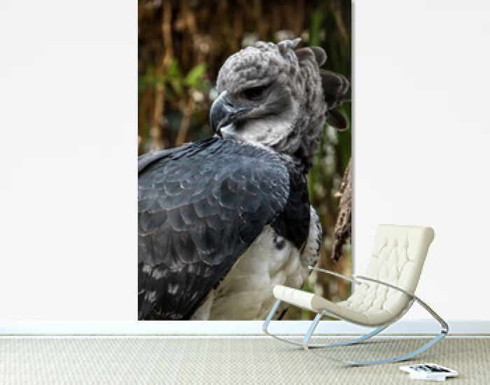 American harpy eagle close up