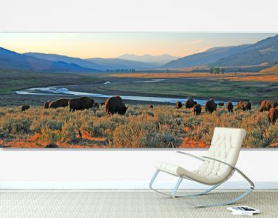 Bison Buffalo herd at dawn in the Lamar Valley of Yellowstone National Park in Wyoiming USA