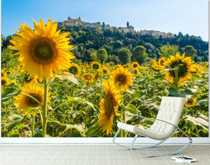Field of sunflowers - Flowering in Amelia, a town in Umbria, central Italy.