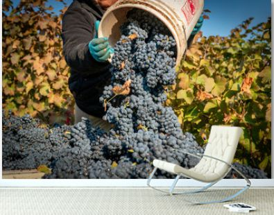 Vineyard worker dumping freshly harvested grapes into a harvesting bin at a vineyard on southern oregon