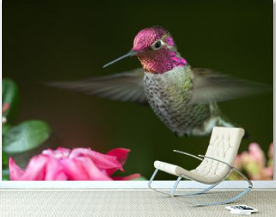 Male hummingbird hovering near pink flowers