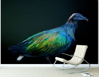 Black bird with blue and green shimmer on feathers black background