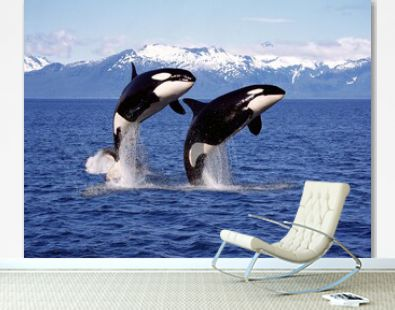 KILLER WHALE orcinus orca, PAIR LEAPING, CANADA