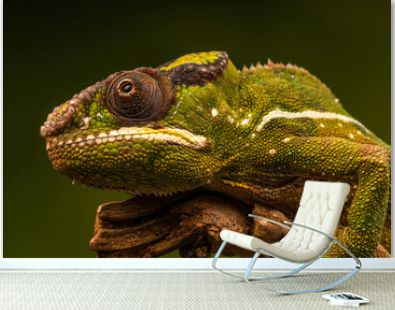 Panther chameleon (Furcifer pardalis) is a species of chameleon found in the eastern and northern parts of Madagascar. Closeup with selective focus.