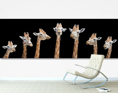 Seven giraffes with different facial expressions