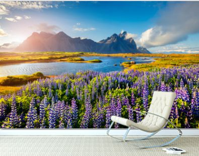 Blooming lupine flowers on the Stokksnes headland on the southeastern Icelandic coast. Iceland, Europe. Artistic style post processed photo.