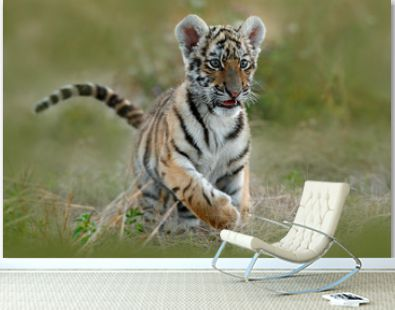 Cute tiger cub. Siberian tiger in grass. Amur tiger running in the meadow. Action wildlife summer scene with danger animal. Nature in tajga, Russia.