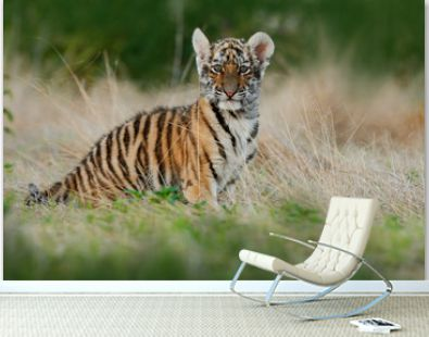 Face fixed tiger look. Young tiberian tiger in grass. Amur tiger running in the meadow. Action wildlife winter scene with danger animal. Cold winter in tajga, Russia. Cute tiger cub.