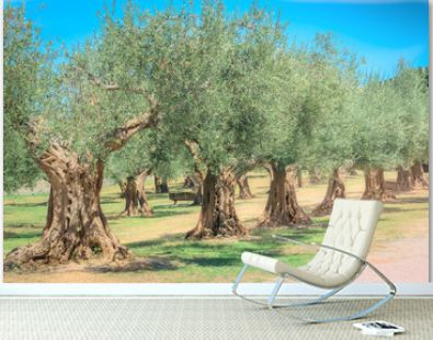 Antique olive trees grove, Mediterranean olives field ready for harvest