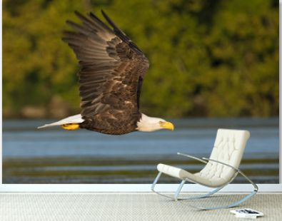 Adult Bald Eagle Flying over Water