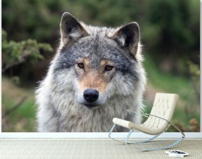 A closeup portrait of a grey wolf. Animal and wildlife concept.