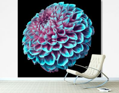 turquoise dahlia flower on the black isolated background.  Closeup.  Nature.
