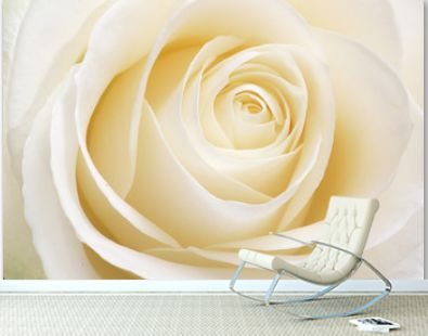 Beautiful fresh white rose
