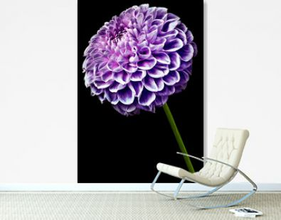 flower isolated purple dahlia on the black   background. Flower on the stem. Closeup.  Nature.