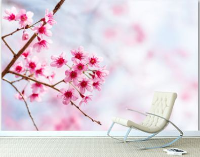 Pink cherry blossom, beautiful flowers in spring season