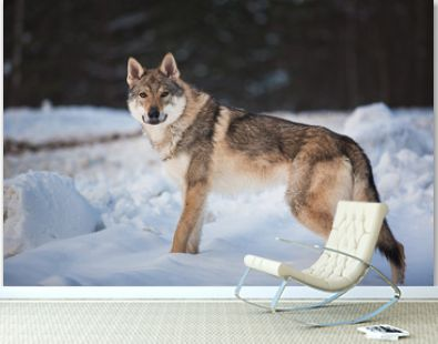 Grey Wolf, Canis lupus standing in a meadow on snow
