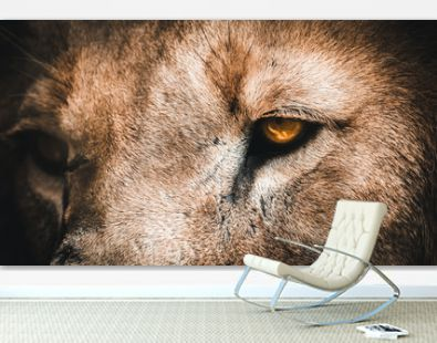 Golden eyes angry lion face looking down