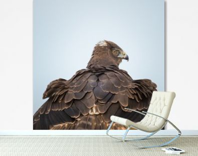 Beautiful shot of a New Zealand wild hawk with chic feathers looking backward